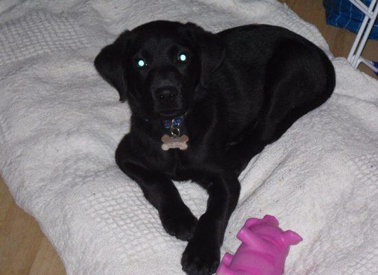 Phoenix pup 12 weeks
