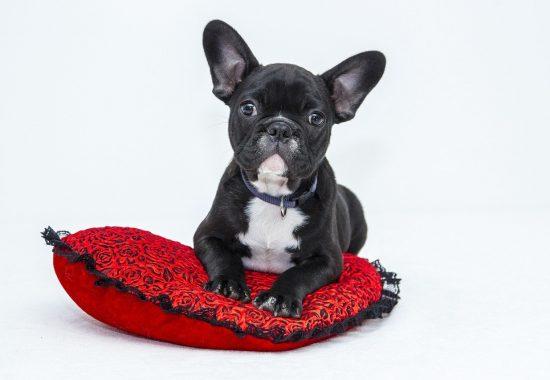 bulldog-1047518_1280