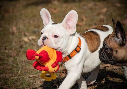 french-bulldog-4242727_1280