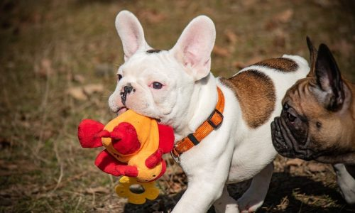 french-bulldog-4242727_1280