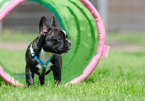 french-bulldog-665152_1280